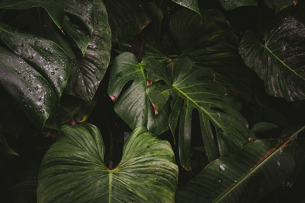 绿萼植物特写图片